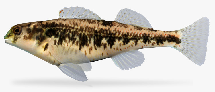 3d etheostoma barrenense splendid darter model