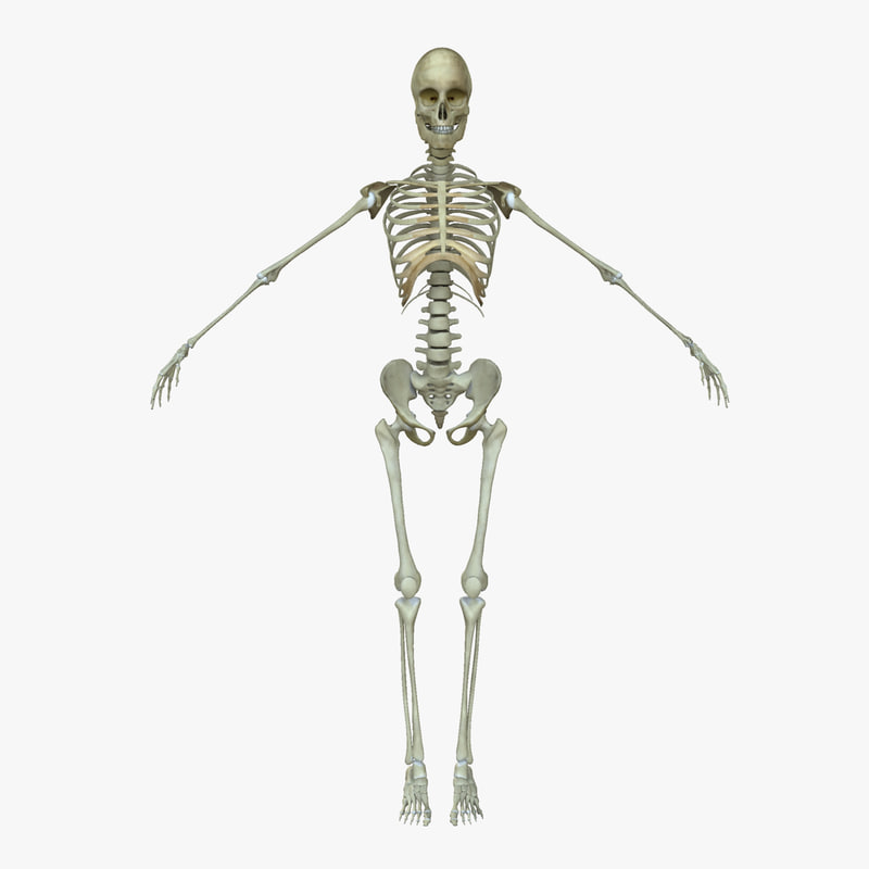 3d female human skeleton bone