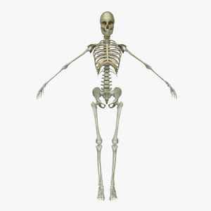 3d female human skeleton bone