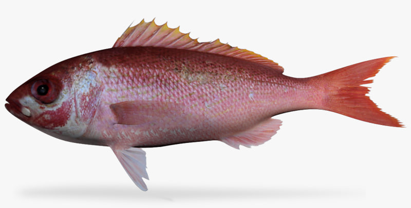 3d ma vermillion snapper