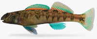 etheostoma blennioides greenside darter 3d x