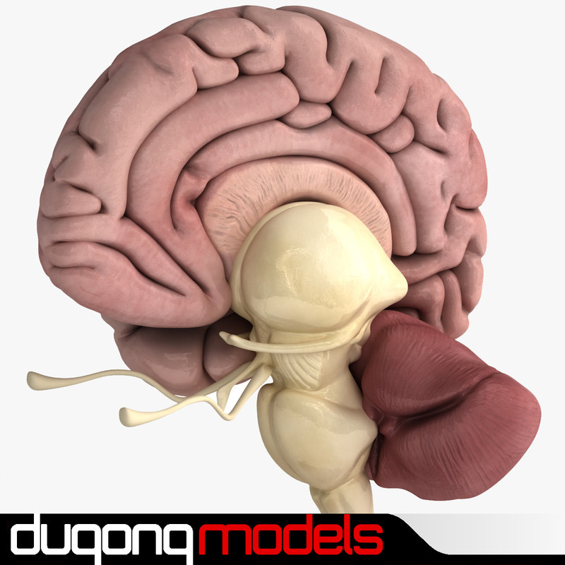 dugm01 human brain 3d model