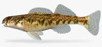 etheostoma blennioides greenside darter 3d ma