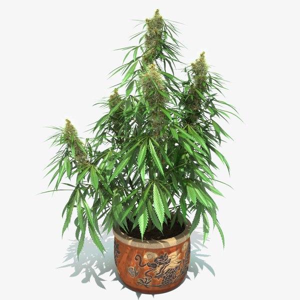 3d cannabis sativa plant pot model