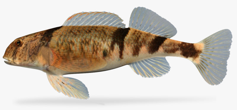 etheostoma blennius blenny darter 3d model