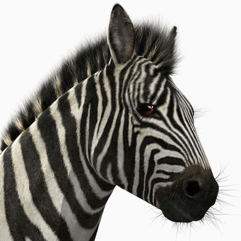 zebra adult fur 3d x