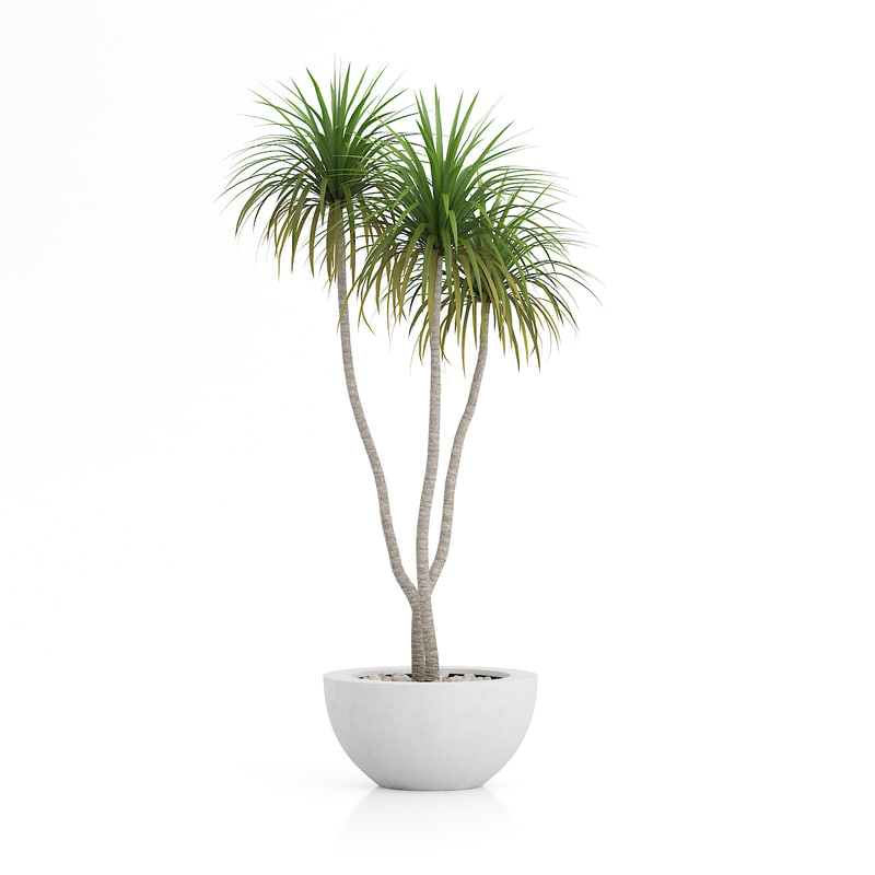 dracena palm pot 3d model