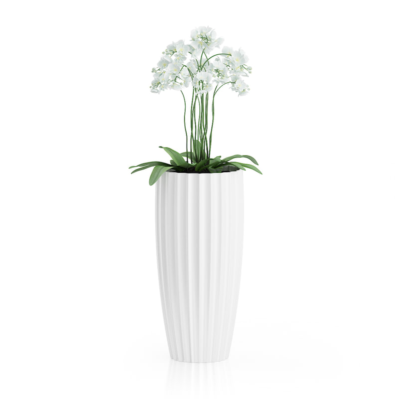 white orchid flowers tall ma