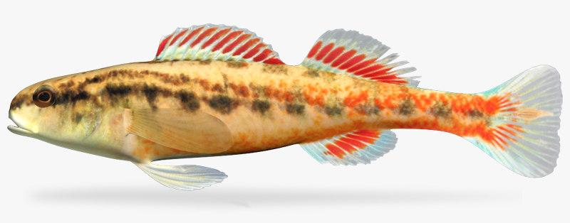 etheostoma cervus chickasaw darter 3d model