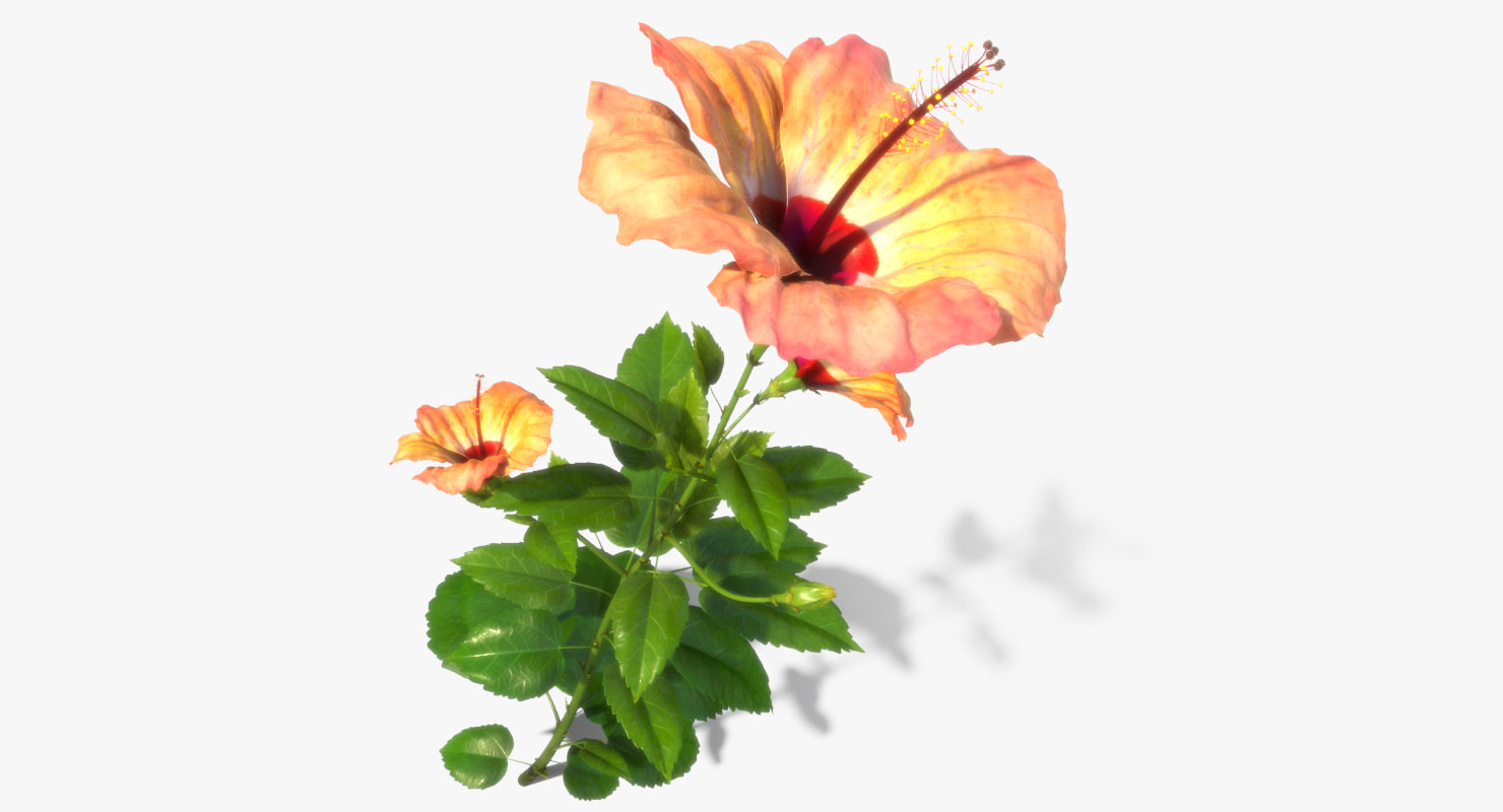 hibiscus flower open 3d model