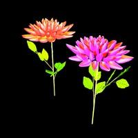 Dahlia flowers (HP)