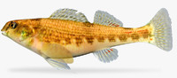 etheostoma etnieri cherry darter 3d x