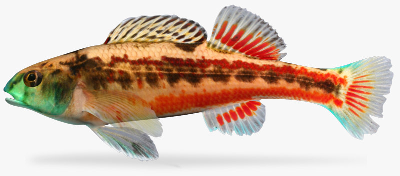 3d model etheostoma etnieri cherry darter