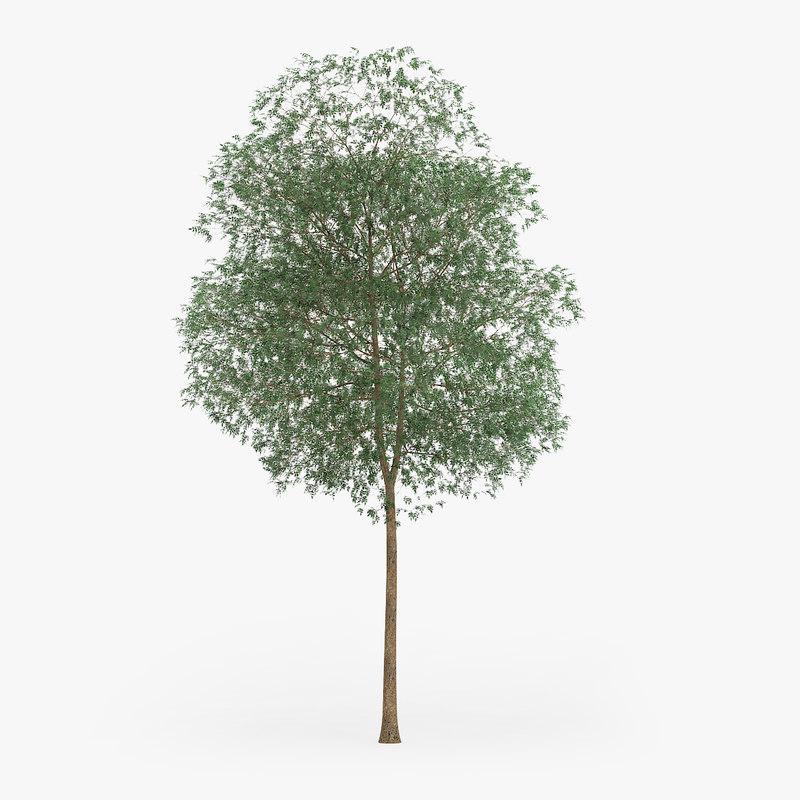 3d yellow birch 14 2m