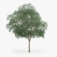 3d model of yellow birch 12 7m