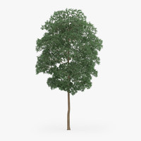 3d yellow birch 12 6m model