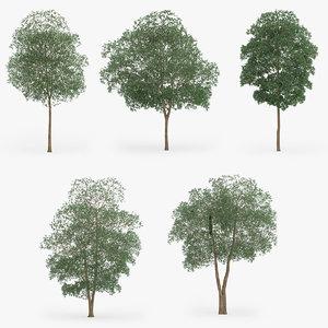 3d yellow birch trees