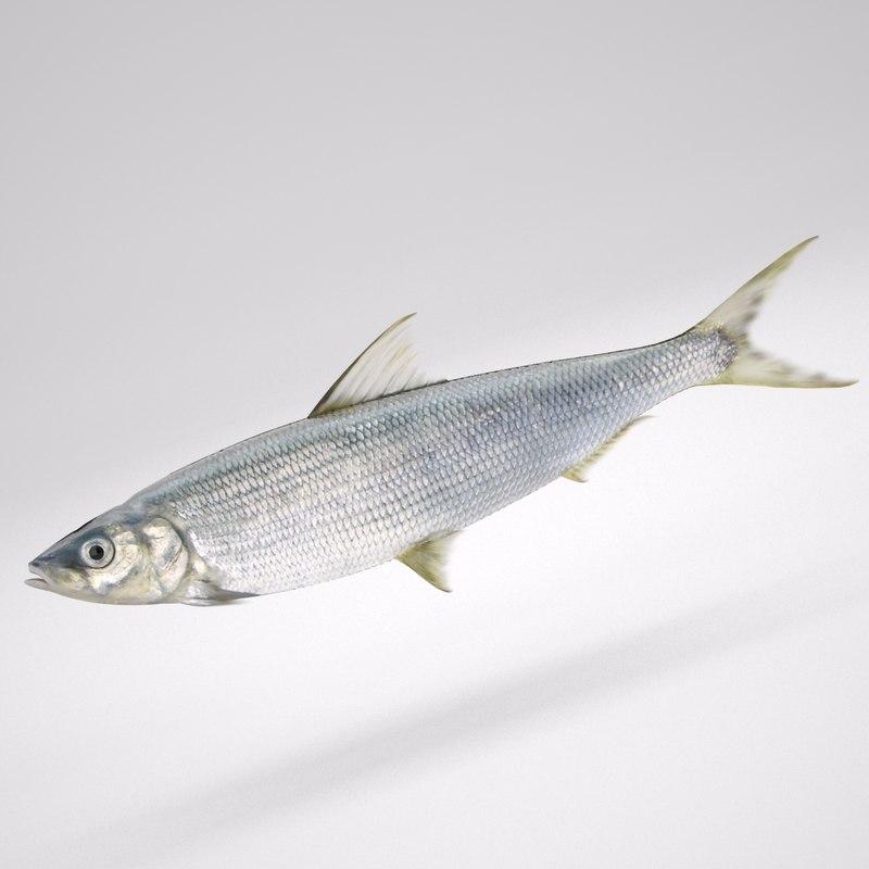 max fish coregonus lavaretus whitefish
