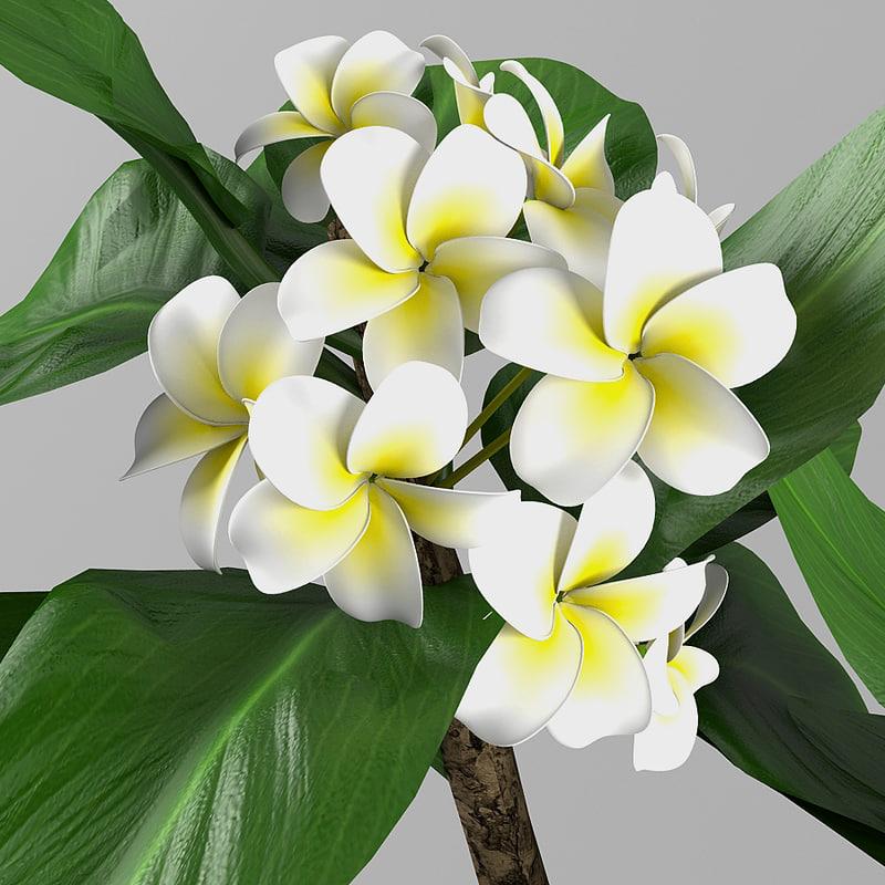 max plant plumeria