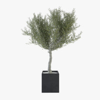 Ornamental Olive Tree 03