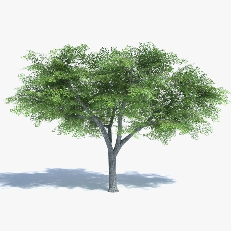 elm tree 3d model