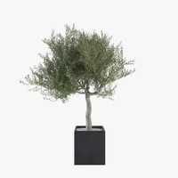 Ornamental Olive Tree 04