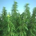 Cannabis Sativa Field
