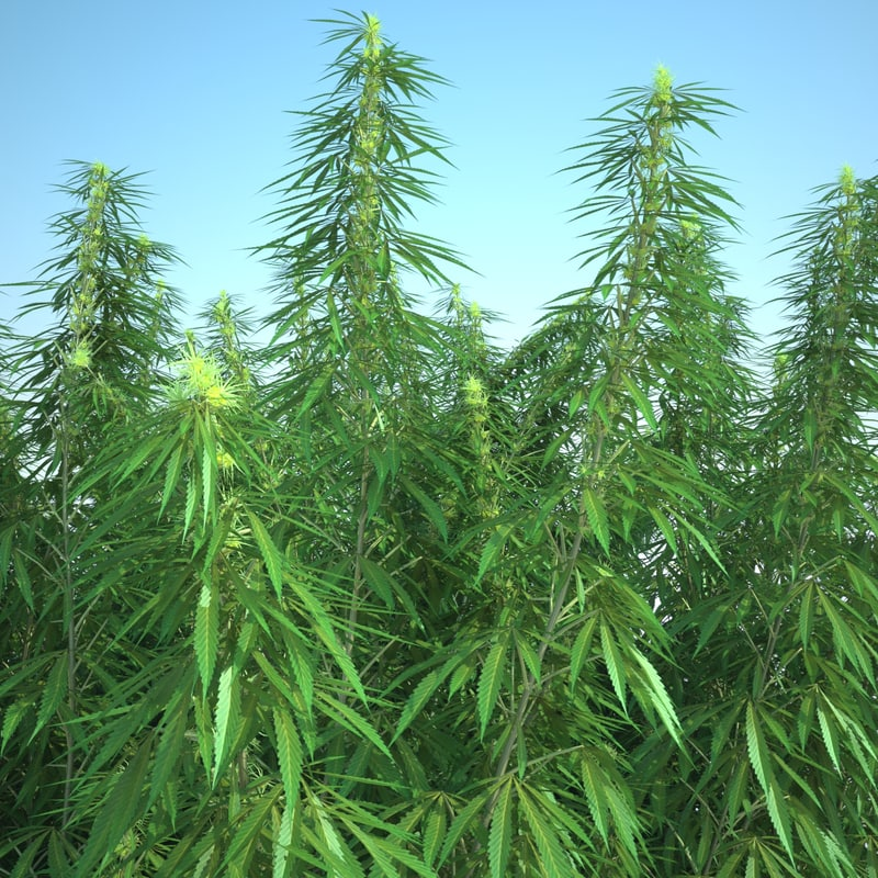 3d cannabis sativa field