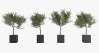 Ornamental Olive Tree Pack
