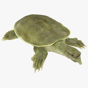chinese softshell turtle