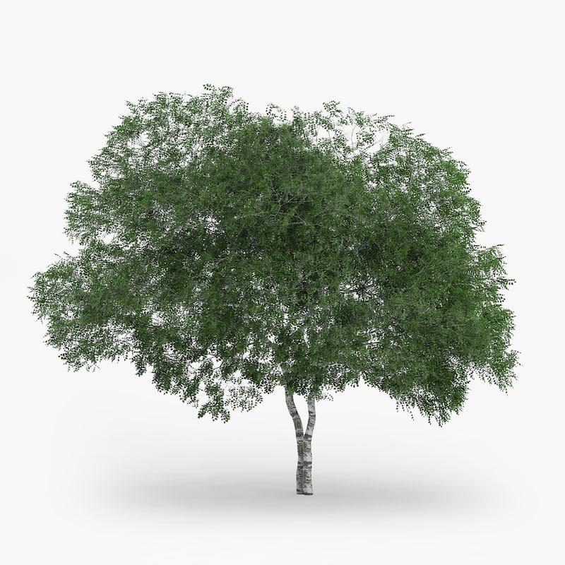 downy birch 8 3m max