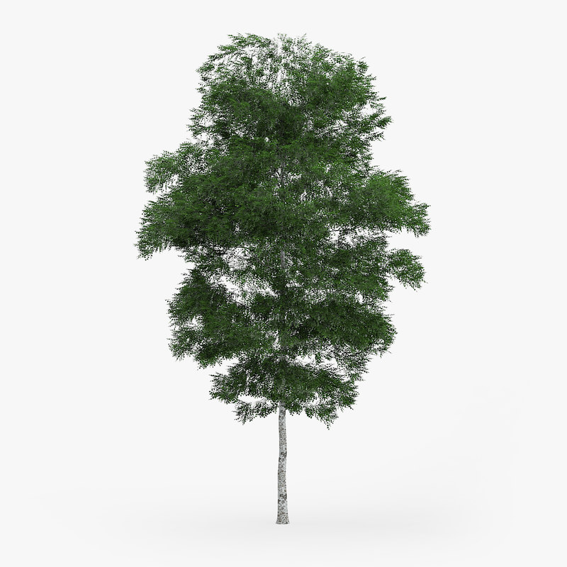 c4d downy birch 11 4m