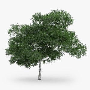 downy birch 6 9m 3d model