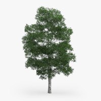 downy birch 11 1m 3d model