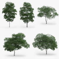 3d downy birch trees