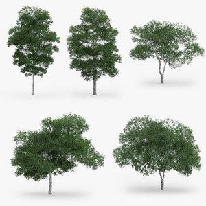 3d downy birch trees