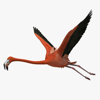 phoenicopterus ruber american flamingo 3d model