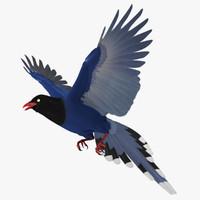 urocissa aerulea taiwan blue 3d model