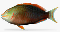 stoplight parrotfish x