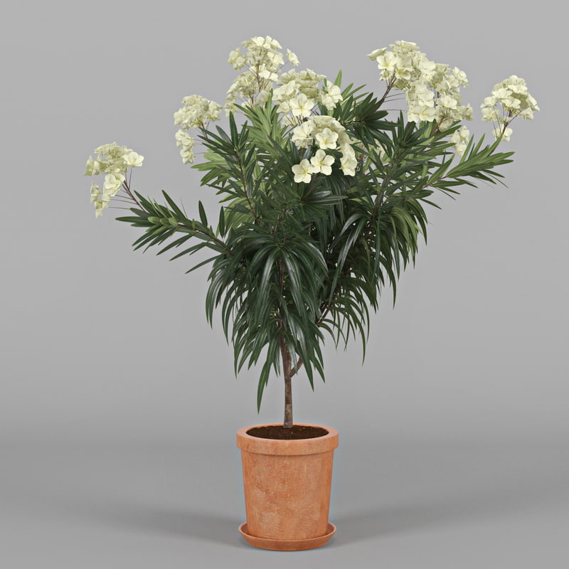 3d model of nerium flower