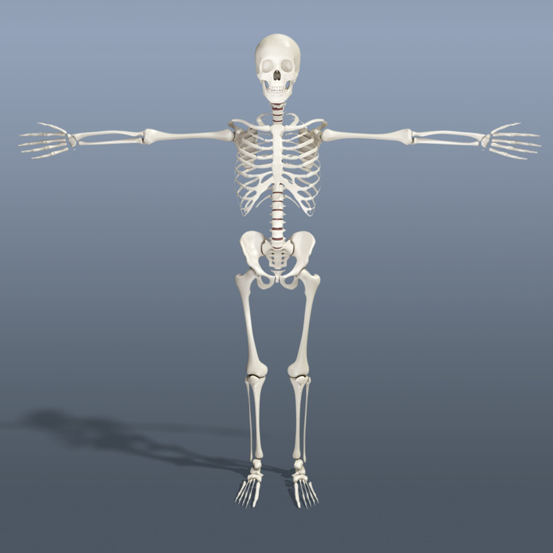 human skeleton 3d obj