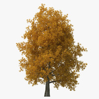 Yellow Poplar Old Tree Autumn