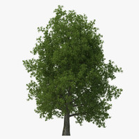 yellow poplar old tree 3d max