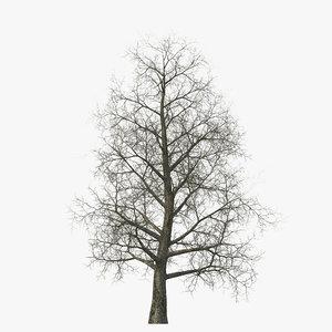 3d model yellow poplar old tree
