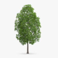 Horse Chestnut Tree 19.2m