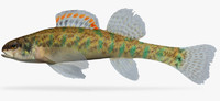 3ds max etheostoma gracile slough darter