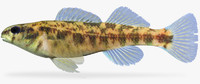 3d etheostoma lynceum brighteye darter model
