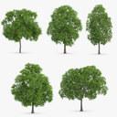 5 Horse Chestnut Trees