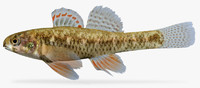 etheostoma microperca darter 3d x