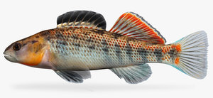 etheostoma spectabile orangethroat darter x